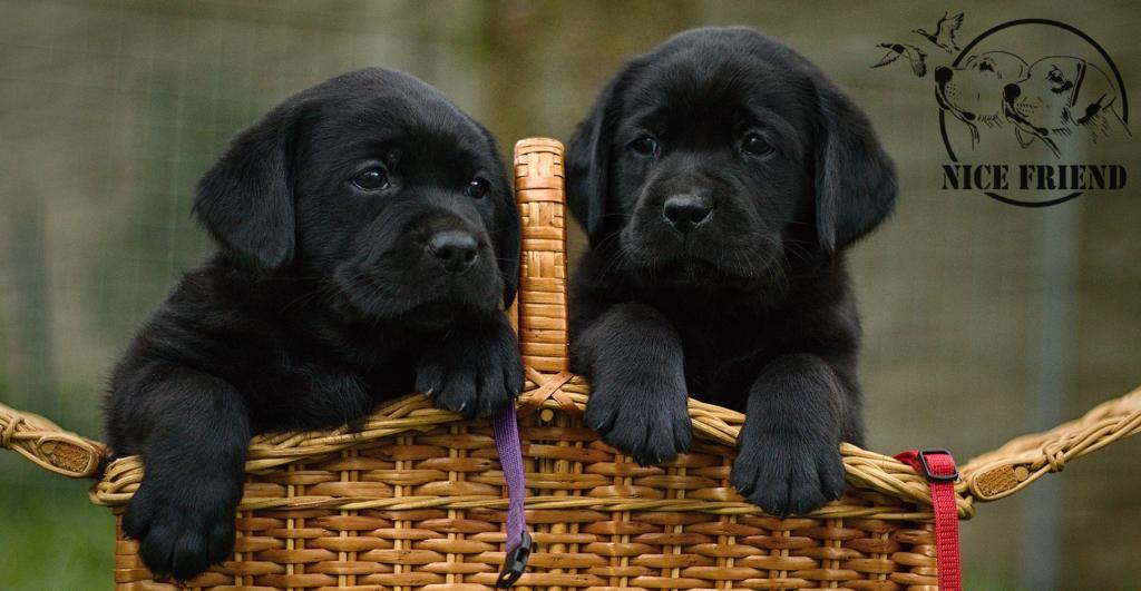 černá štěnátka labradorů Nice Friend